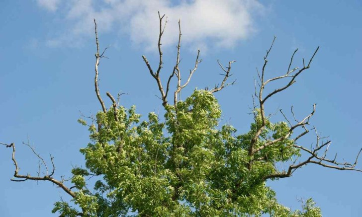 Europe ash tree extinction