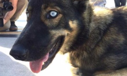 Luna The German shepherd-husky lost For five weeks at sea found (PHOTO)