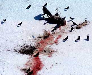 Wolves slaughter elk In Rare surplus killing