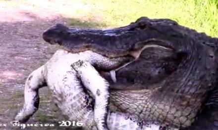 gator eats gator at  Circle B Bar Reserve in Lakeland (VIDEO)