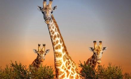 Zimbabwe sells off wild animals following Severe Drought