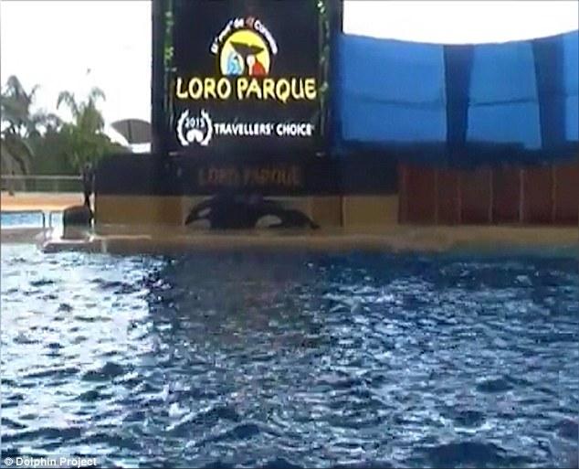 SeaWorld orca Morgan Seen Beaching Herself After Show