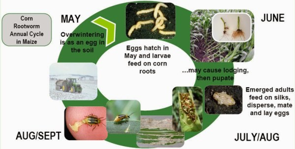 lifecycle of corn rootworm