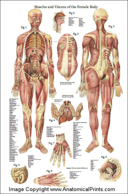 Human Head And Neck Muscles Diagram Female Muscles And Viscera Anatomy Poster 24 X 36