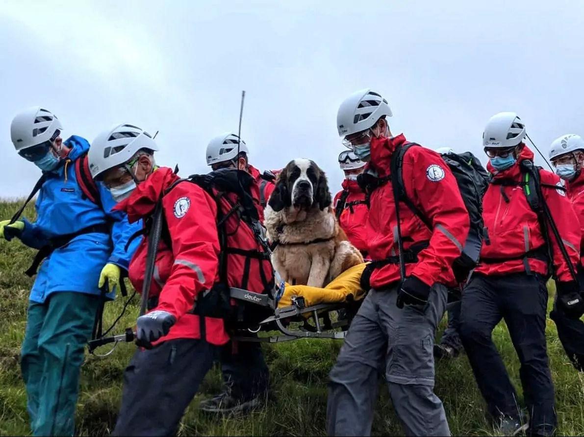 Imagem mostra cadela são bernardo sendo resgatada
