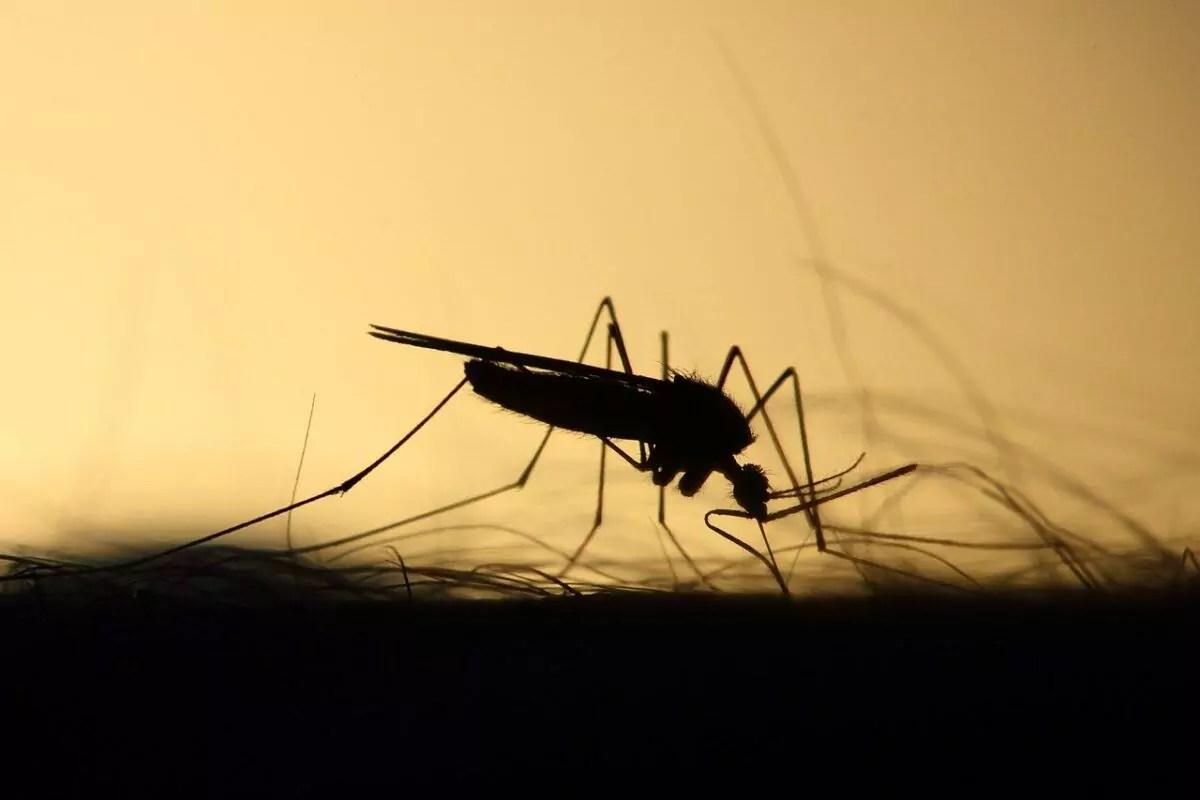 A Malária é transmitida por um mosquito. Imagem mostra mosquito picando pessoa