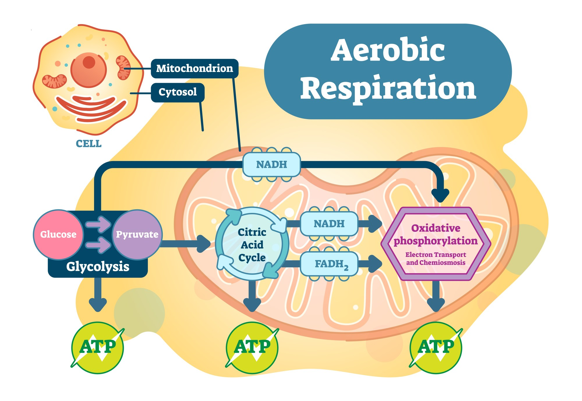 hight resolution of what to eat to fuel a healthy mitochondria