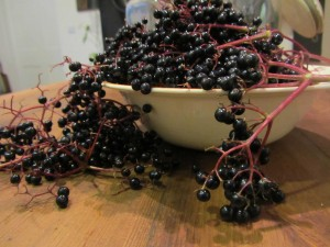 Fresh, handpicked elderberries from The Lizard in Cornwall, gathered by medical herbalist Deanne Greenwood, to make elderberry, thyme and liquorice cough linctus. Deanne Greenwood practices in Falmouth, Helston, Penzance and The Lizard in Cornwall.