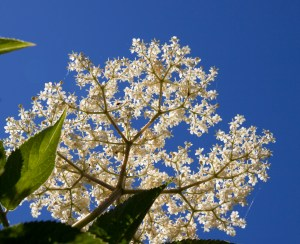 Elderflower is a popular hay fever remedy
