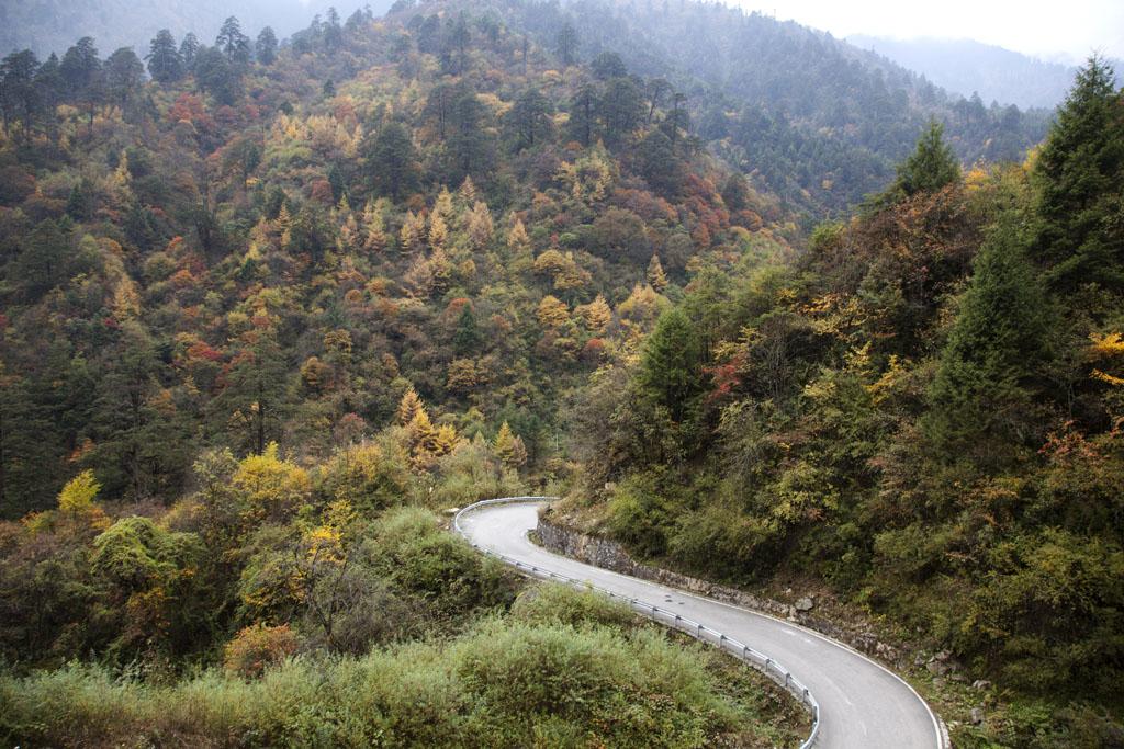 去康定途中,彎彎曲曲的道路兩旁盡是已轉黃的楊樹