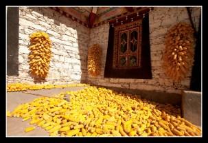 藏家村民家家戶戶會在屋前曬玉米