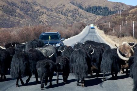 路上遇到牛群