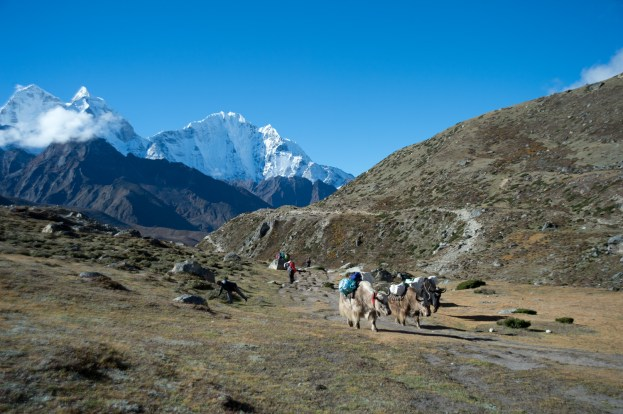 Some yaks carrying heavy loads going to the other direction