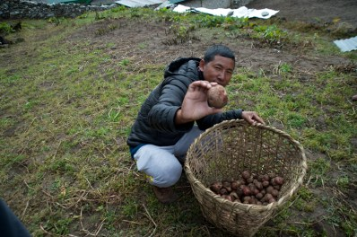 Potatoes planted by the people in the village