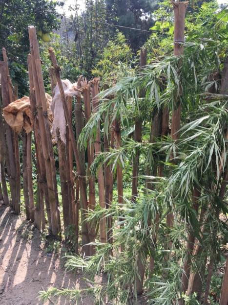 Marijuna growing in this village