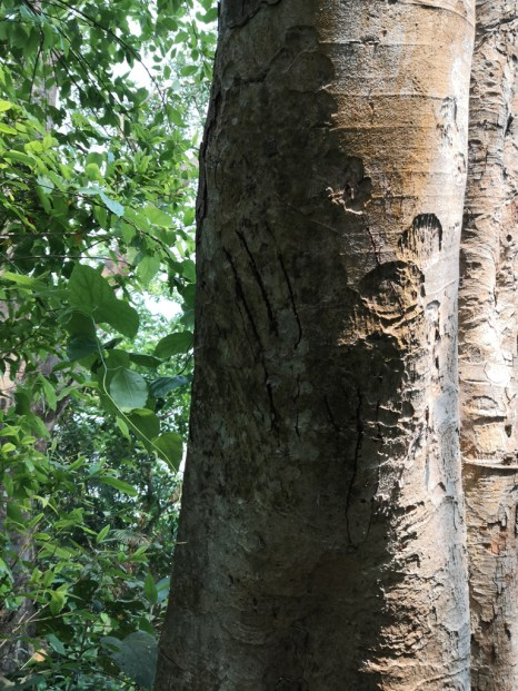 Claw scratch marks on tree trunk from Tiger