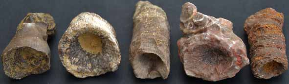Solitaire koralen uit het Midden-Devoon van de Eifel (Duitsland; lengte koralen ongeveer 5 cm).