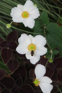 White flowers with bee