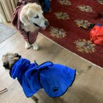 Golden Retriever and Border Terrier Dogs in towels