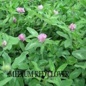 Medium Red Clover  Debruyn Seed Store