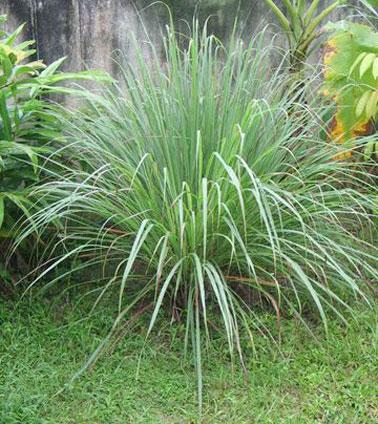 Une citronnelle en pot ou plantée dans le jardin, une plante anti-moustique à l'efficacité reconnue pour ses propriétés à éloigner les moustiques tout autour d'elle.
