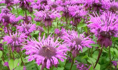 La monarde fistuleuse, une plante médicinale très aromatique dont l'huile essentielle est un anti-moustique efficace qui agit aussi comme répulsif pour se protéger des moustiques et de leurs piqûres.