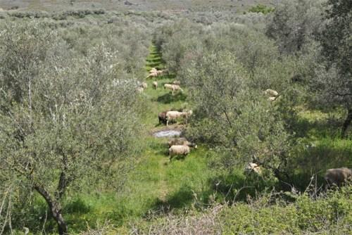 alimentation mediterraneenne moutons et oliviers Novoceram
