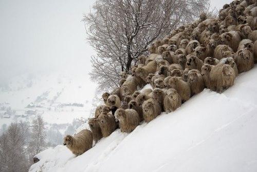 moutons Mihai Doarna