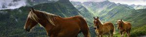 Chevaux pyrenees