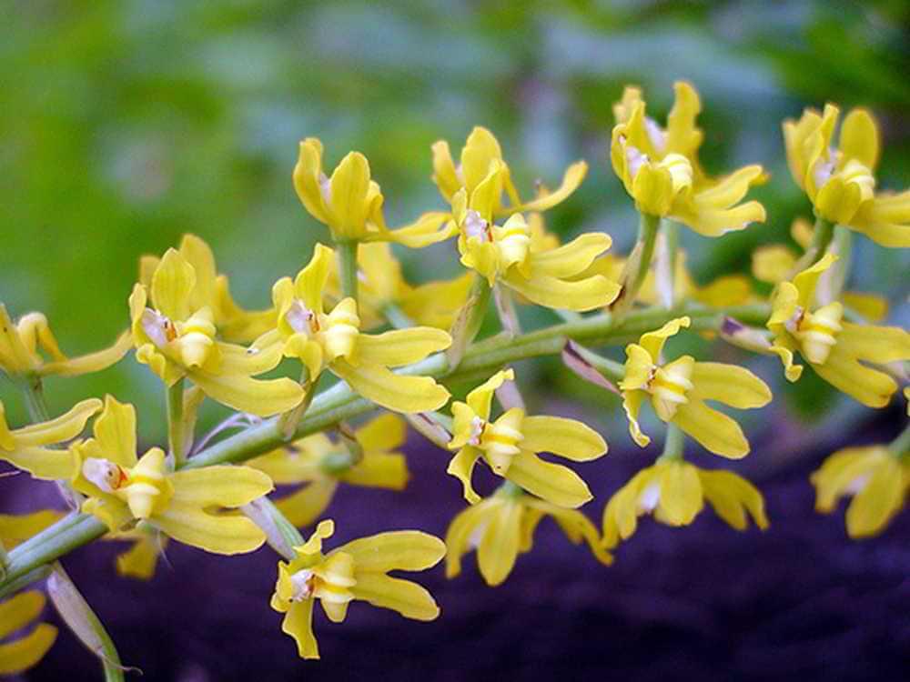 Orquídea Gomesa