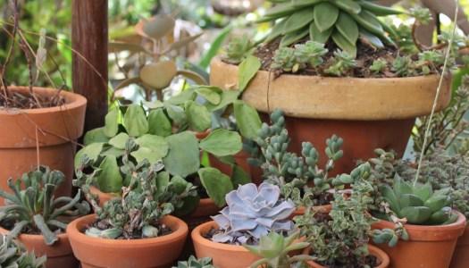 arranjos de plantas suculentas