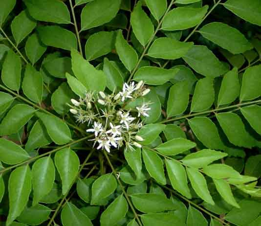 Vastu Shastra For Curry Leaves Plants Decorchamp
