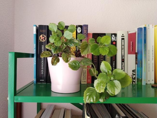 plantas vivas para decorar - planta del dinero