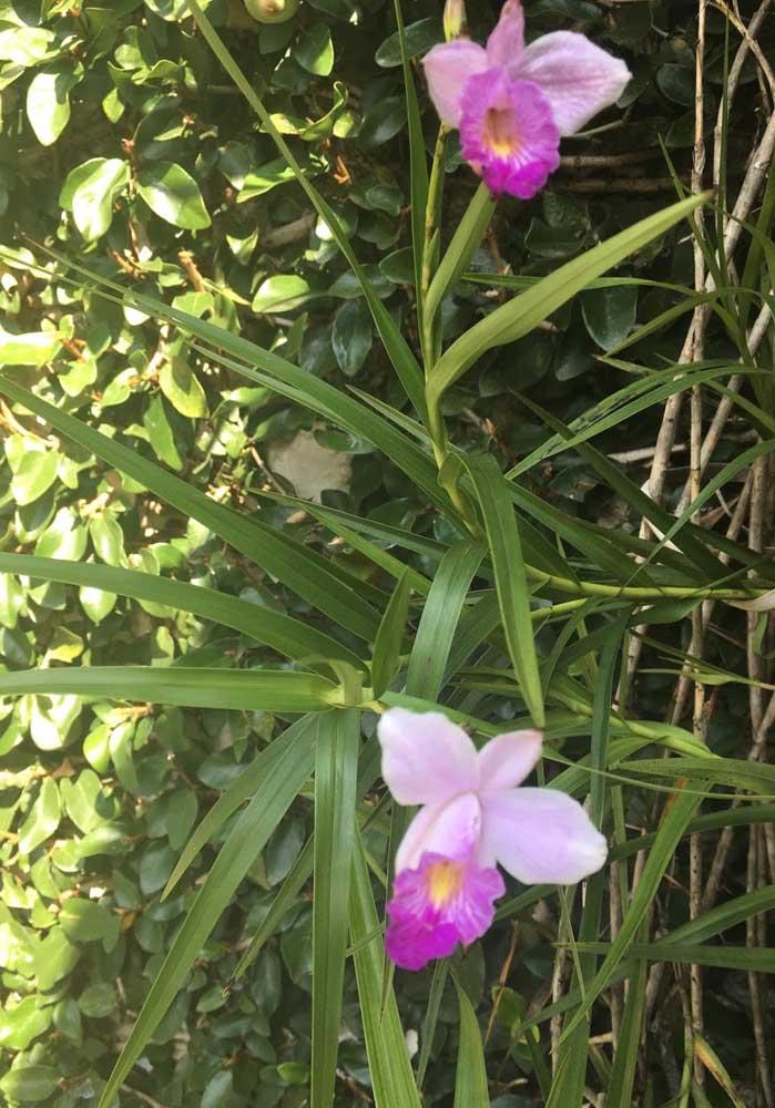 Orquídea Arundina: essa espécie de orquídea também é conhecida como orquídea bambu e é originária da Ásia. Diferentemente de outras espécies, essa é uma das orquídeas que podem ser plantadas no solo