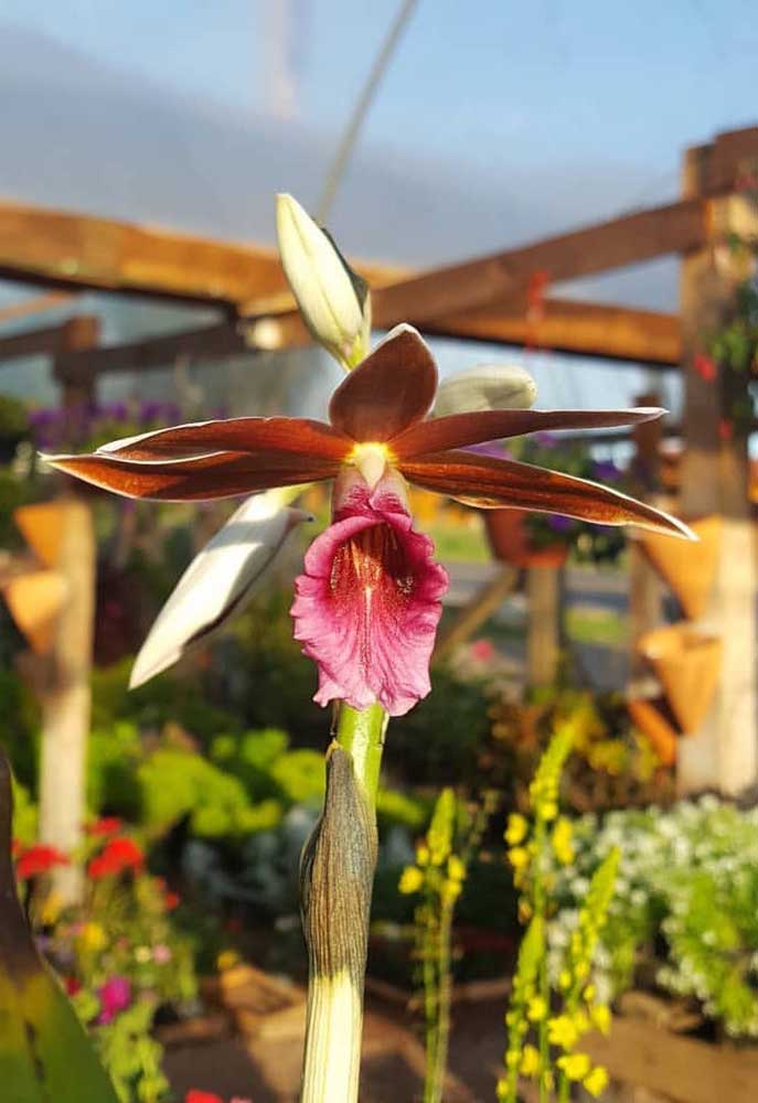 A orquídea Capuz de Freira possui ramificações altas, chegando a medir 1,8 metro, com flores abundantes que se abrem de baixo para cima