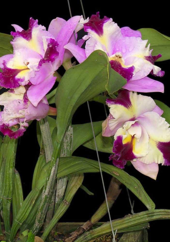 Orquídea Cattleya Haw Yuan Angel: Muito popular no Brasil, as orquídeas do gênero Cattleya possuem flores brancas, amarelas e rosadas com cerca de vinte centímetros de diâmetro cada