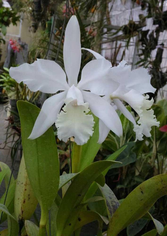 A orquídea Cattleya Haw Yuan Angel é fácil de cultivar, no entanto, floresce apenas uma vez por ano