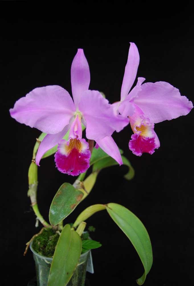 A orquídea Cattleya Labiata possui uma floração abundante e um perfume maravilhoso