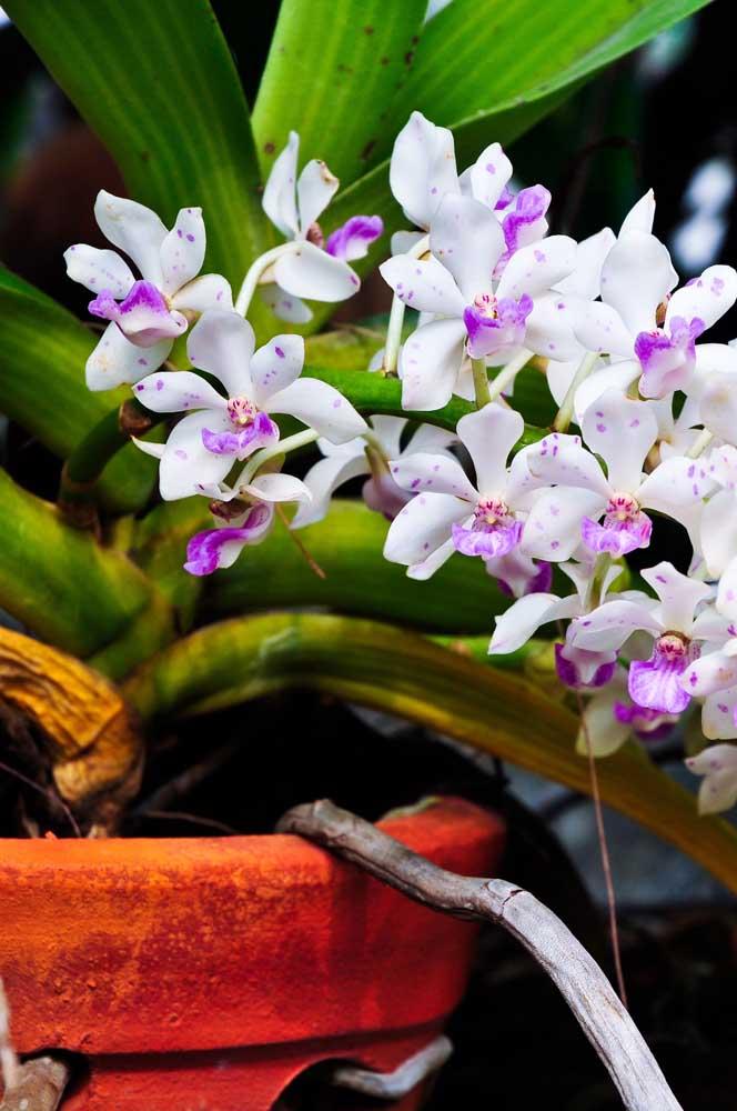 A produção em larga escala do gênero Dendobrium barateou o custo dessa orquídea e hoje ela pode ser facilmente encontrada por preços a partir de R$ 10