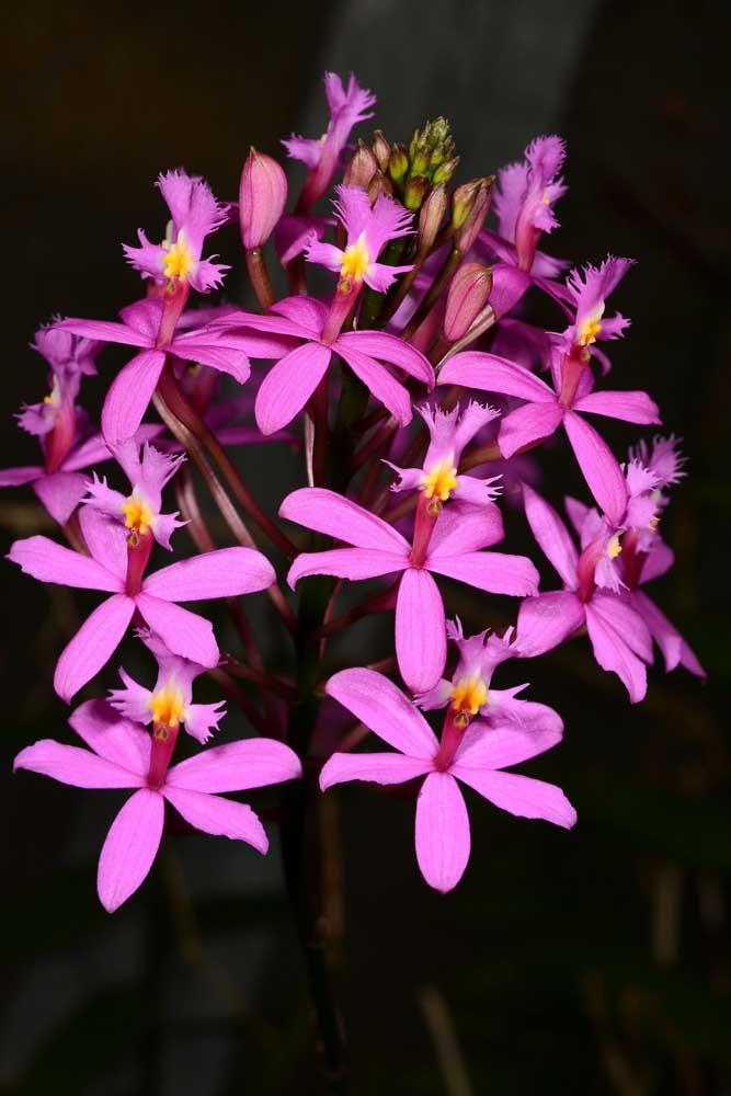 Orquídea Epidendrum Rosa: essa orquídea pertence a um dos gêneros mais importantes de orquídeas, o Epidendrum. Atualmente são cerca de 1427 espécies do tipo