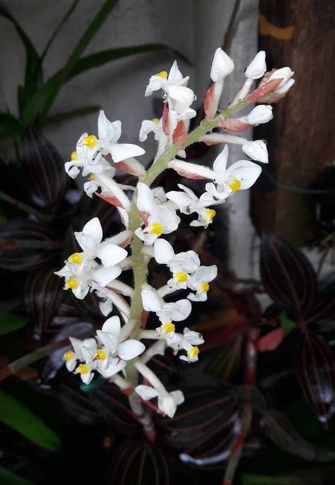 A Ludisia, também conhecida como orquídea joia, é uma espécie terrestre que necessita de um local com bom sombreamento para se desenvolver