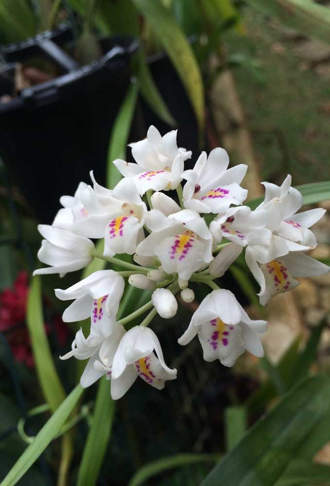 Orquídea Neobenthamia Gracilis: conhecida popularmente como orquídea buquê de noiva, essa é mais uma das espécies terrestres