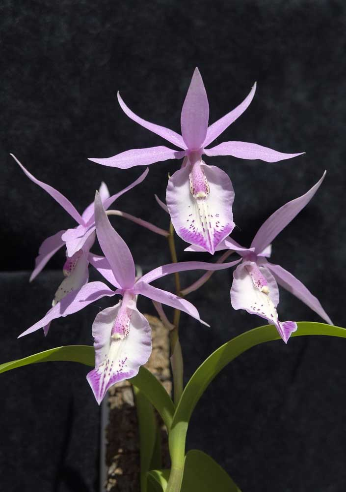 Orquídea Barkeria: o nome dessa espécie vem do pesquisador e botânico inglês George Barker