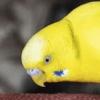 おしゃべりするインコ、ピーポちゃんの動画が可愛すぎる