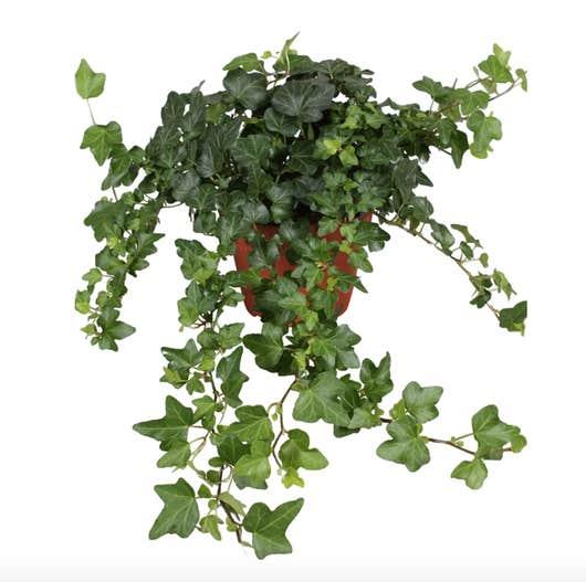 Lierre anglais Hedera Helix plantes dépolluantes
