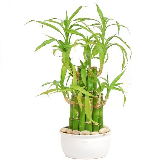 Bambou chanceux plantes feng shui