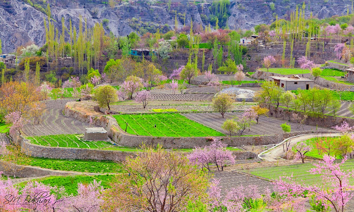 Blossom in Hunza Valley