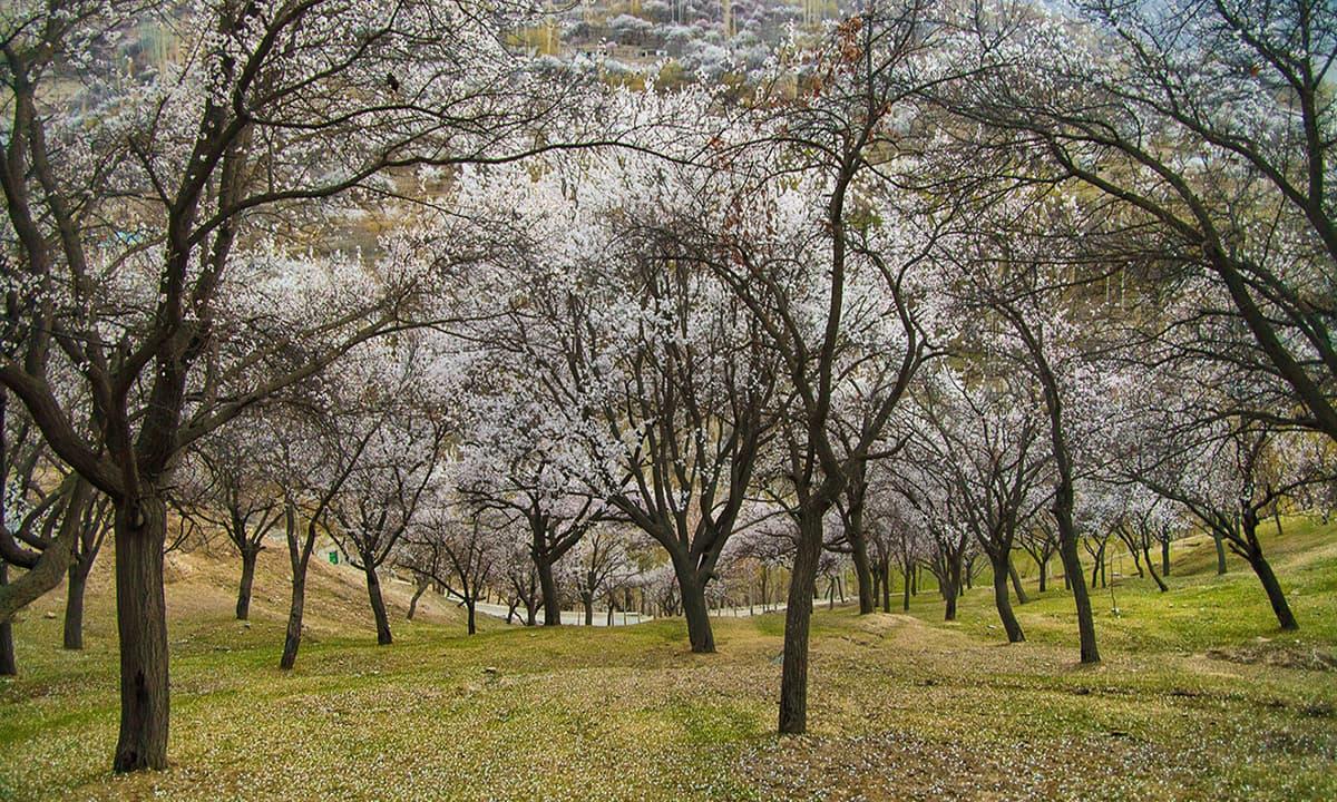 Cherry blossom in garden Hunza Valley