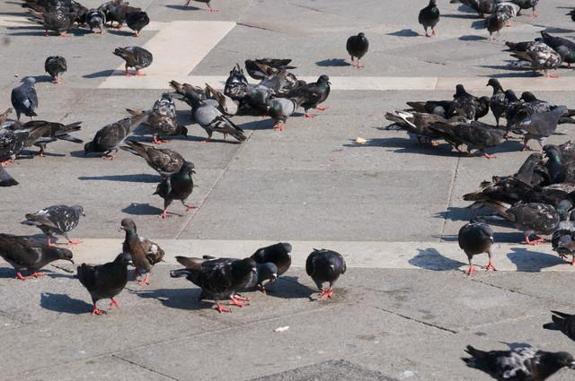 Italy, Venice, Markusplatz, Lots of Pigeons