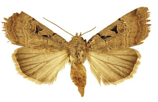 mariposa_anagnorisma_ chamrani_femea